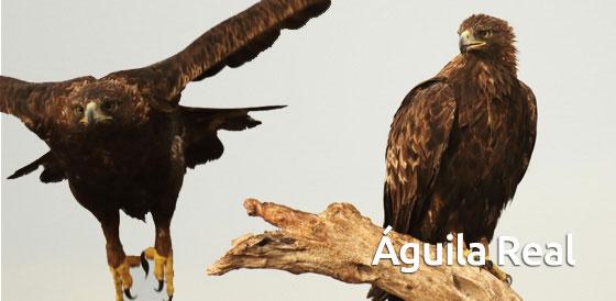 entrada_aguila_real