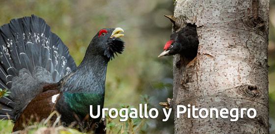 entrada_urogallo