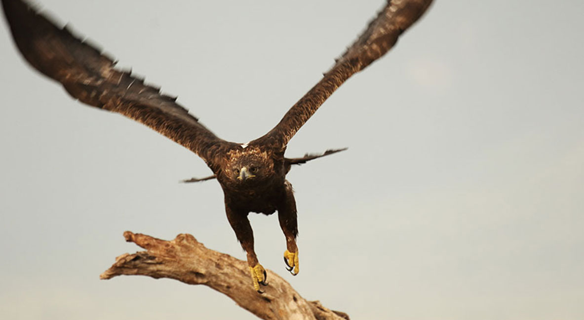 aguila_real00