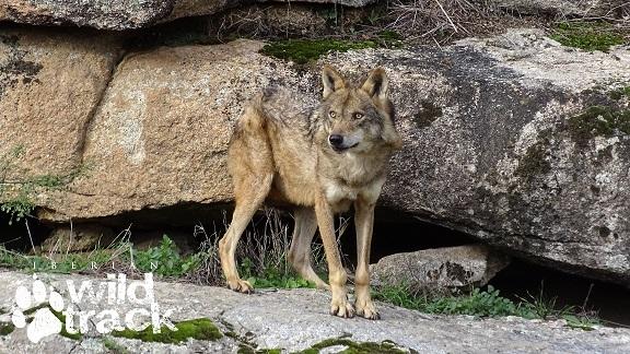 ver lobo iberico en libertad